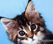 گربه فتوشاپ