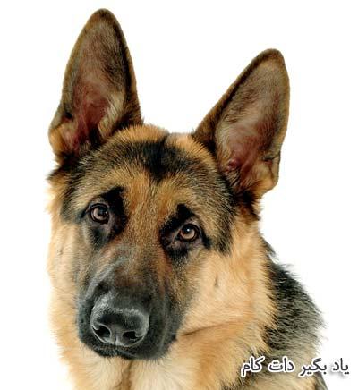 نژاد ژرمن شپرد سگ