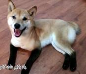 معرفی سگ با نژاد شیبا اینو