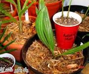 روش آماده سازی دانه خرما برای کاشت