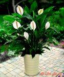 گل چمچه ای