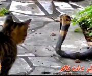 مبارزه گربه و مار