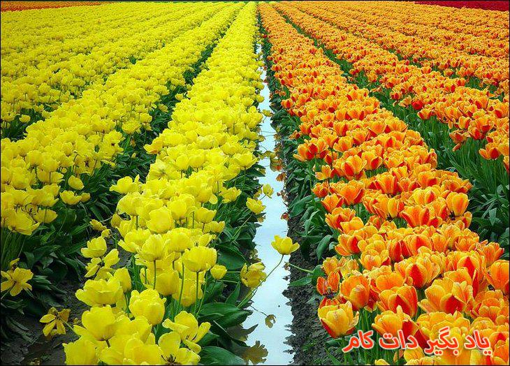 مزرعه گل های لاله