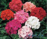 انواع گلهای شمعدانی