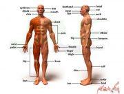 معرفی اعضای بدن به انگلیسی