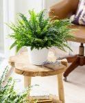 گلهای آپارتمانی_ از گیاه سرخس بیشتر بدانید