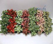 انواع گل فیتونیا