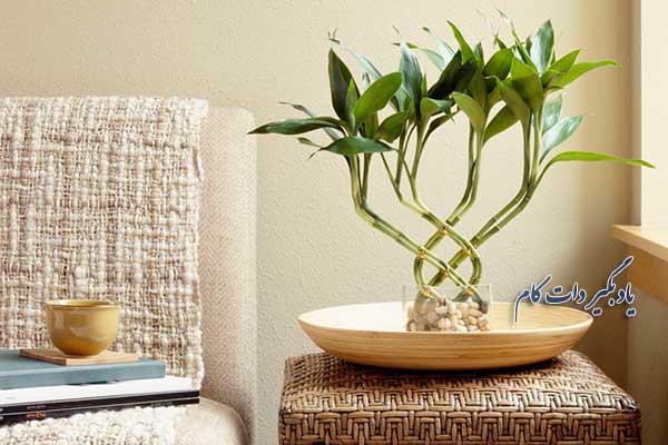 از گیاه بامبو بیشتر بدانید