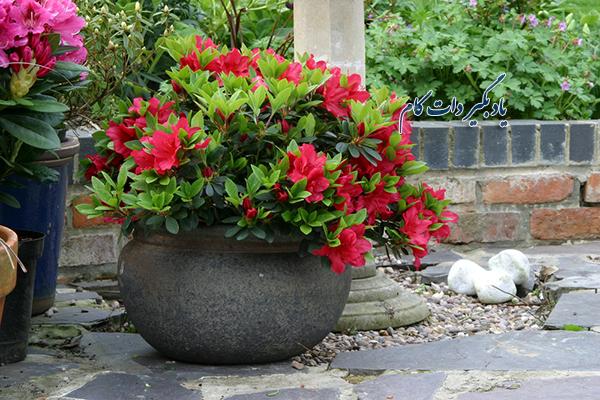 مراقبت از گل آزالیا