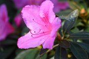 درباره گل آزالیا بیشتر بدانید