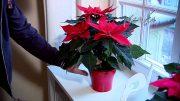 گلهای آپارتمانی - بنت قونسول، پوینستیا یا گل کریسمس