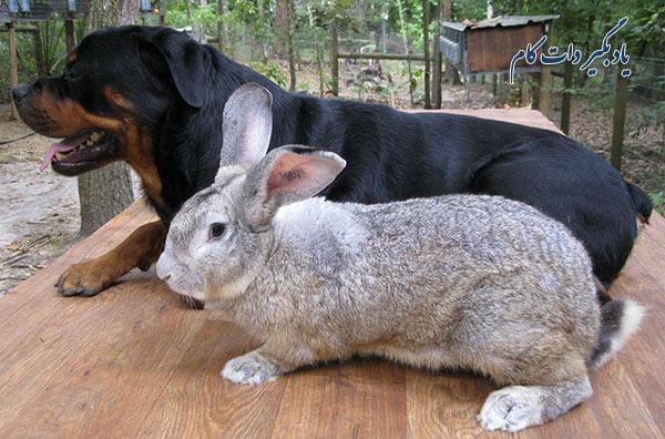 خرگوش نژاد Flemish