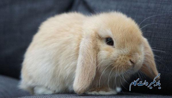 خرگوش مینی