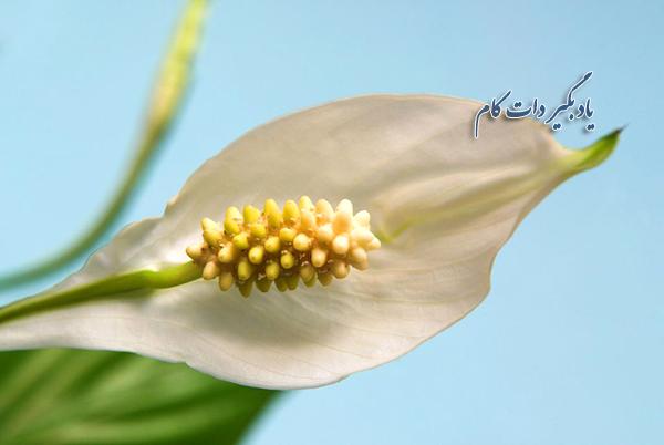 گل و گیاه مخصوص تصفیه هوا