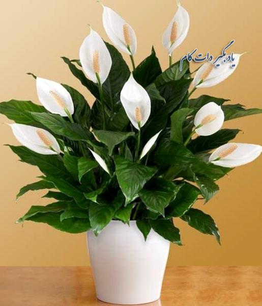 گلهای آپارتمانی_ اسپاتی فیلوم یا چمچمه ای برای تصفیه هوا