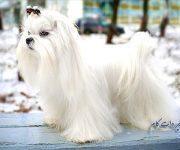 معرفی سگ با نژاد مالتیز