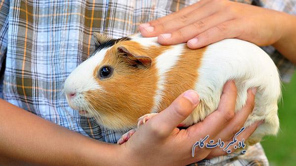 مراقبت از خوکچه هندی در منزل