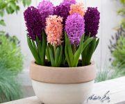 کاشت، رشد و مراقبت از گل سنبل