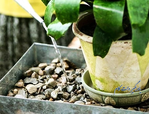 آبدهی و رطوبت گیاه پاپیتال