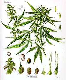 گیاه شاهدانه یا ماری جوانا
