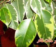 مراقبت از آفت گیاه فیکوس بنجامین