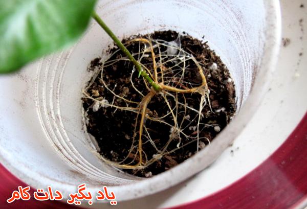 تعویض گلدان آفت گیاه فیکوس بنجامین