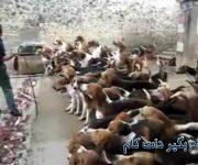 غذا دادن به این تعداد سگ گرسنه