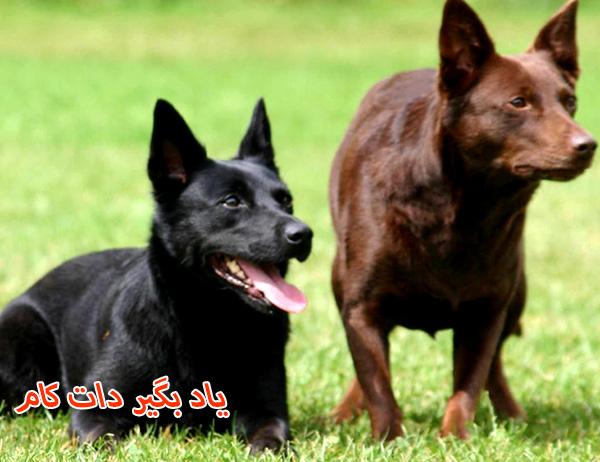 سگ گله کلپی استرالیایی