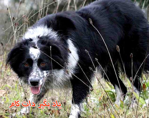معرفی سگ گله بردر کولی