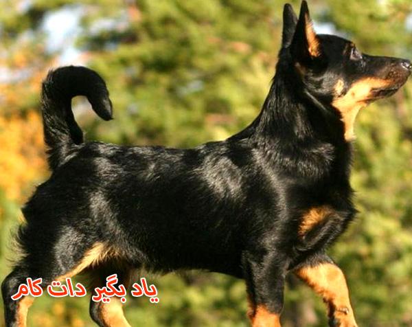 معرفی سگ گله لنکشر هیلر