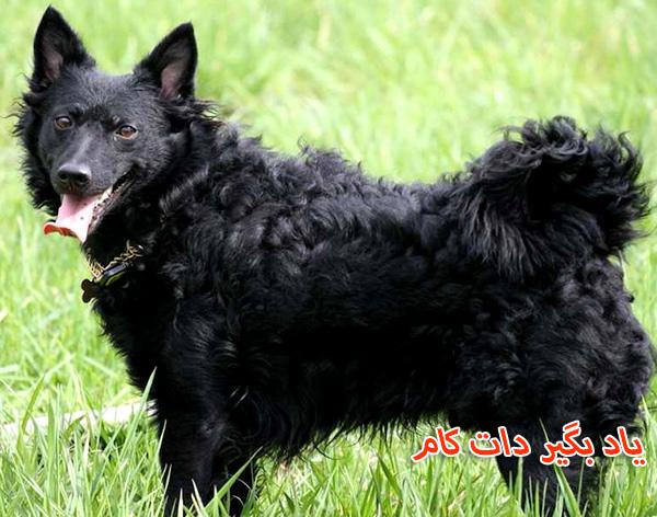 معرفی سگ گله مودی