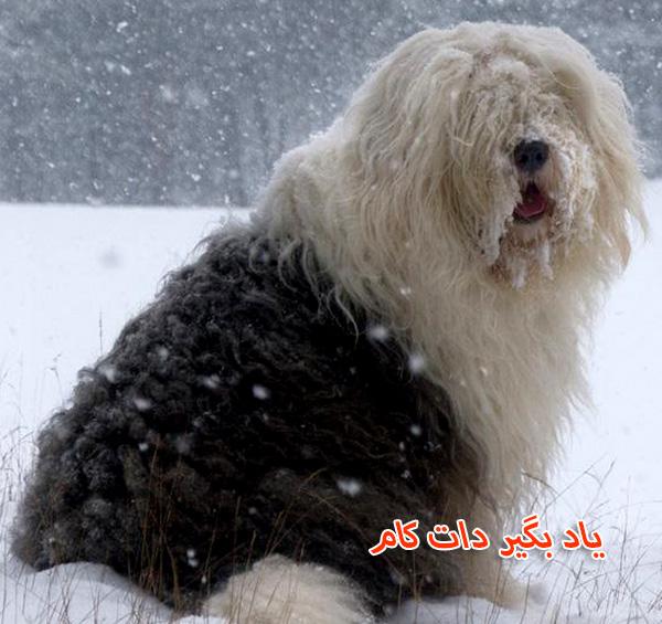 معرفی سگ گله اولد انگلیش شیپداگ