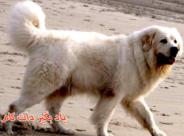 معرفی سگ گله تاترا شیپ داگ لهستانی
