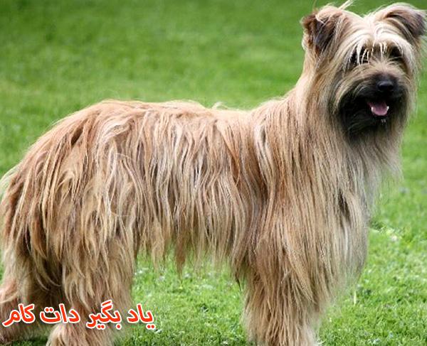 معرفی سگ گله پرتگیز شیپداگ