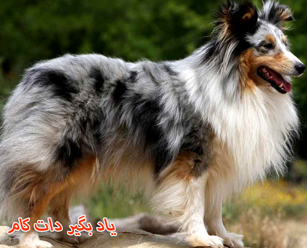معرفی سگ گله شتلند شیپداگ