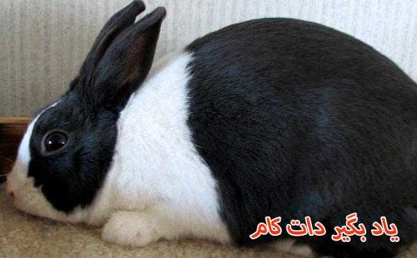 خرگوش داچ (هلندی) حیوان خانگی