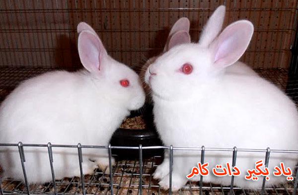 خرگوش نژاد فلوریدا وایت حیوان خانگی