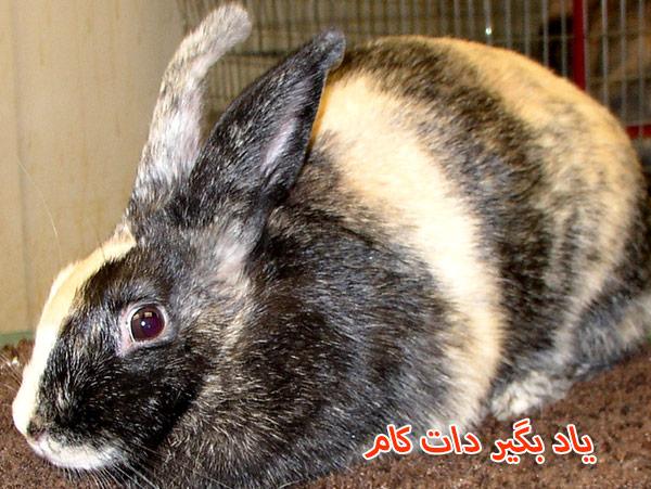 خرگوش نژاد هارلکویین حیوان خانگی