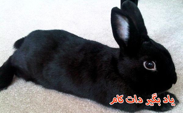 خرگوش نژاد هاوانا حیوان خانگی