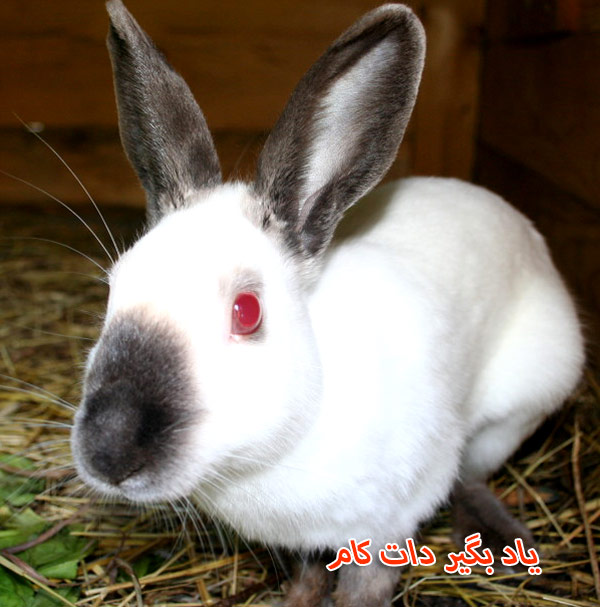 خرگوش هیمالیایی حیوان خانگی