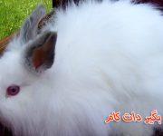 خرگوش نژاد جرسی پشمالو حیوان خانگی
