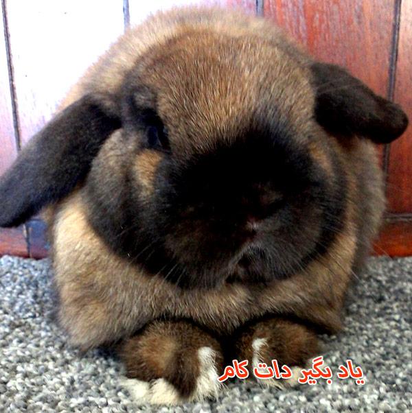 خرگوش نژاد لوپ هلندی حیوان خانگی