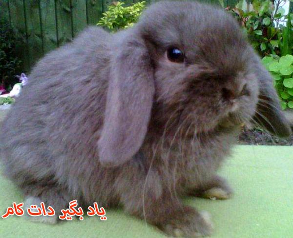 خرگوش نژاد مینی لوپ حیوان خانگی