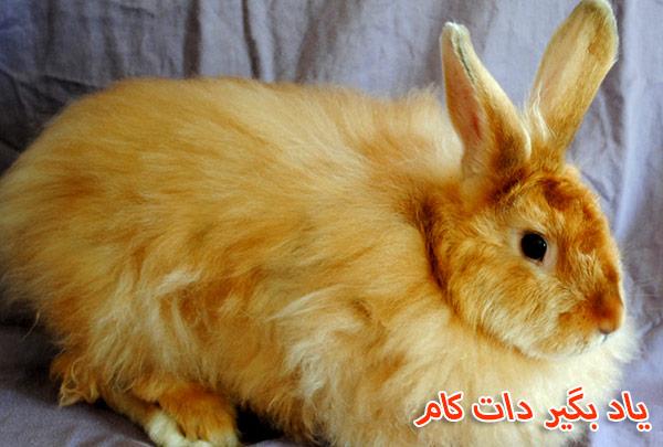 خرگوش نژاد ساتن انقوره حیوان خانگی