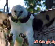 حیات وحش عقاب شکار