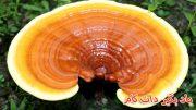 کاربرد قارچ گانودرما یا ریشی