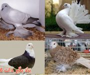 پرورش کبوتر، انواع تخمگذار