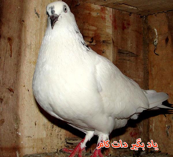 تجارت پر سود پرورش کبوتر