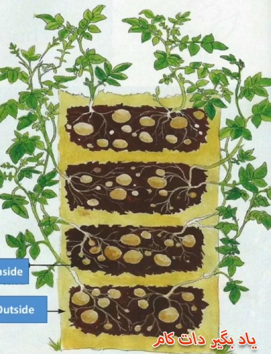 آموزش کاشت سیب زمینی در خانه
