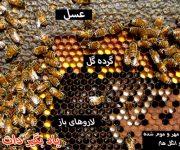 محل ذخیره عسل و لاروها در کندو